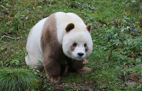 abandoned-brown-panda-qizai-4