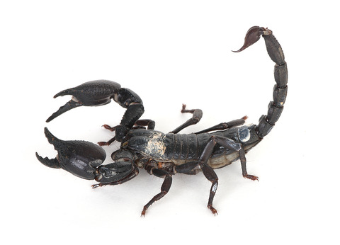 Emperor_Scorpion_5325334