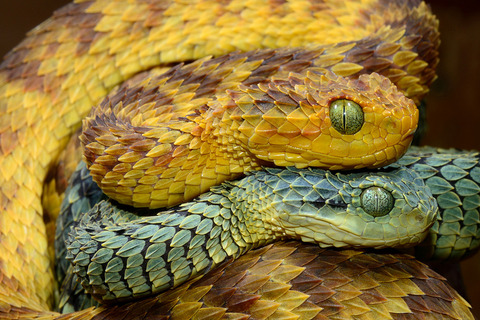 two-hairy-bush-vipers
