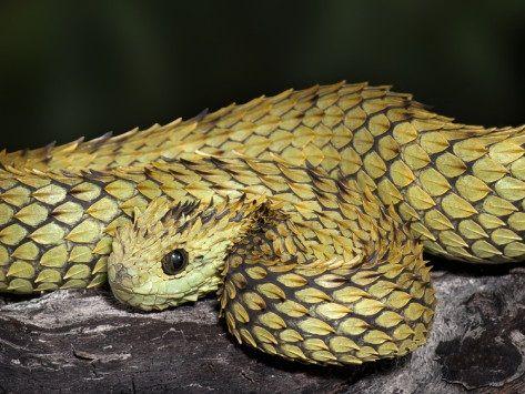 Hairy-Bush-Viper