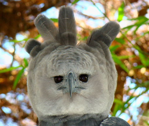 07101715_Portrait-of-a-Harpy-Eagle