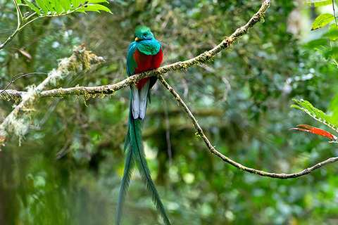 resplendent-quetzal-costa-rica-590-590x393