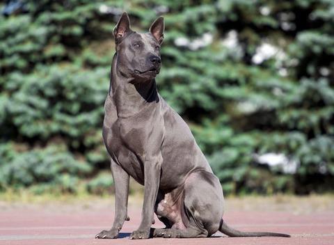 thai_ridgeback_dog