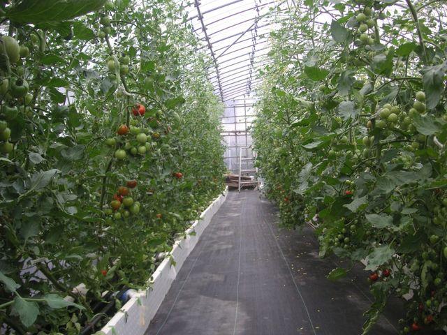 簸川平野のきりはれて : トマト(少量土壌培地耕:トロ箱栽培)