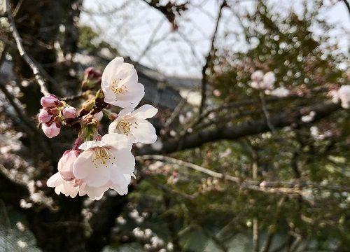 お花見桜2019春