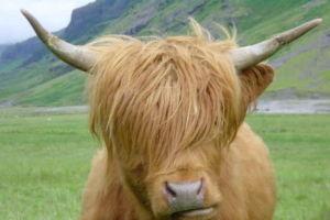 Dsc00141_Closeup_of_Highland_Cow