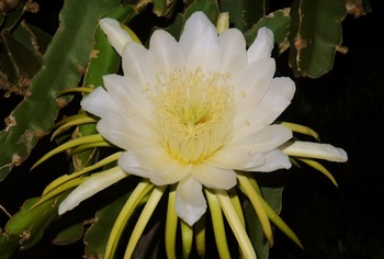 ドラゴンフルーツの花01 (1024x691)