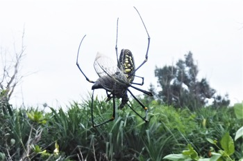 オオジョロウグモ