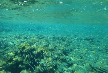 イワシの稚魚の群れ (1024x690)