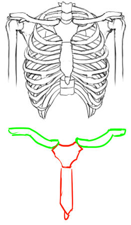 肋骨4 鎖骨と上腕骨と肩甲骨を描き足しました。 肩甲骨と上腕骨については、また別...  胸。大