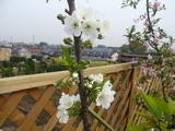 佐藤錦の花