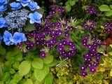 バーベナの紫とライムイエローのコントラストが好き.jpg