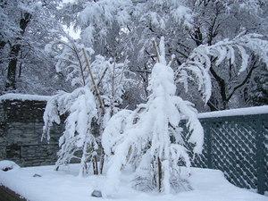 雪ヒメシャラ