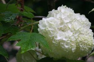 カシワバアジサイ変り種