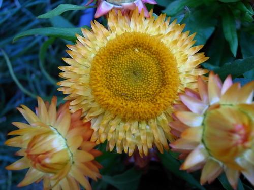 帝王貝細工、これもひとつの花が長いので好き