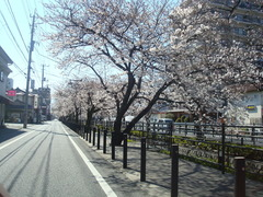 2010sakura 006