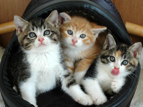 三毛猫のオスが生まれにくい理由 オレンジの遺伝子に秘密あり