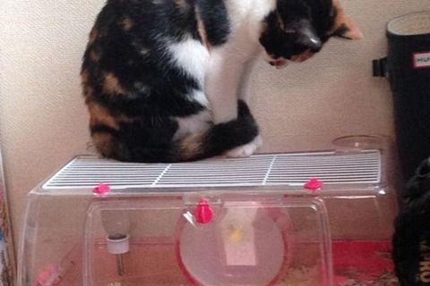 【動画】ハムスターのマネをするネコが海外で話題に