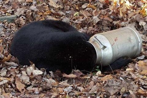 【画像】ミルク缶に頭を突っ込んだクマが発見される