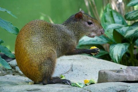 メキシコに生息する可愛い動物 カピバラとリスを組み合わせたような外見が特徴