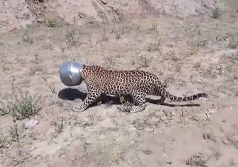 【インド】水を飲もうと頭をポットに突っ込んだヒョウ、頭が抜けずに右往左往