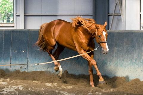 【競馬】オルフェーヴルが今から調教再開して今年の菊花賞に出走すれば何着になるか?現在の神々しい馬体がこちら【画像】