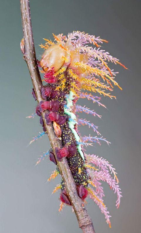 【画像あり】美しい蛾が話題にwwwww