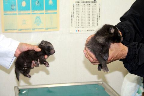 【悲報】青森で捕獲された小熊、正体はタヌキだったwwwwww