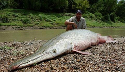 名古屋城外堀に肉食魚「アリゲーターガー」体長1メートルを超え、もはや捕獲不能