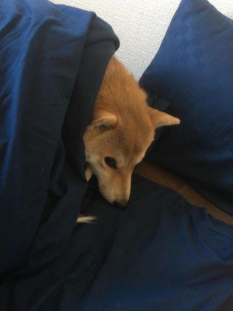 ワイの家の柴犬さん、ワイから布団を強奪する(※画像あり)