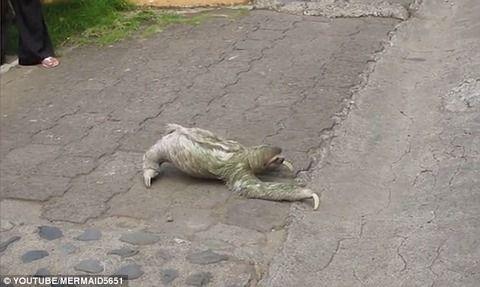【鬼畜】朝のラッシュの道路をナマケモノが横断、渋滞に