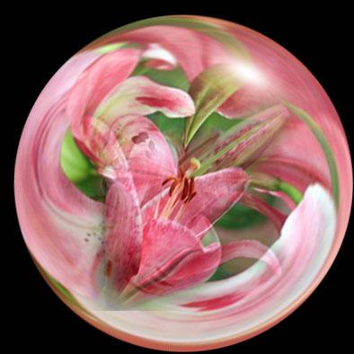 ピンクユリシャボン