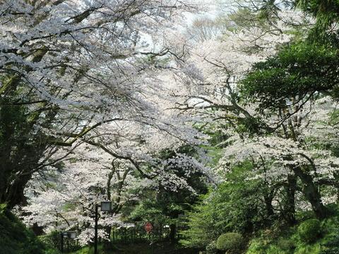 広坂桜のトンネル