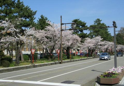広坂大通りの桜並木2