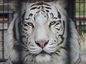 ホワイトタイガーに飼育員が殺された事故、当日は餌を与えない「絶食日」だった