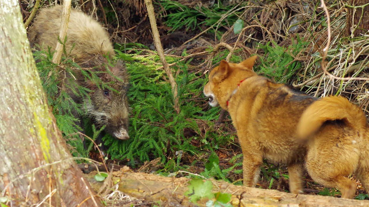 【画像】イッヌが飼い主を守るためにイノシッシと戦った結果