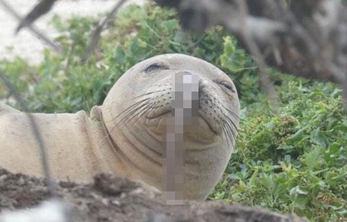 【これは痛い】ハワイ在住のアザラシさん、鼻の穴にウナギが刺さってしまう・・・