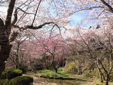 花の寺(勝持寺)さん 桜情報