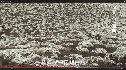 棉花嶼海芙蓉