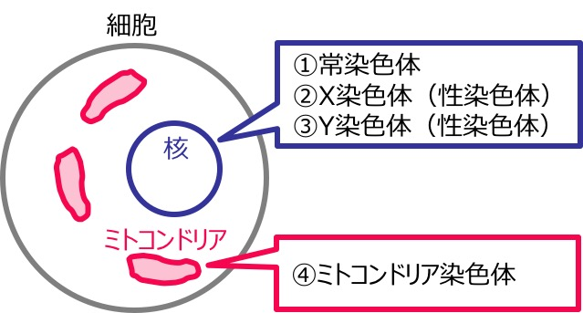 XY染色體ミトコンドリア