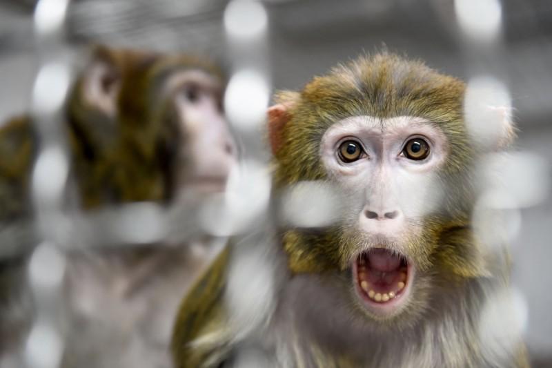 自由時報20190413猴腦