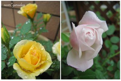 roseのコピー.jpg