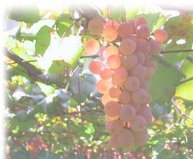 top_grape755m