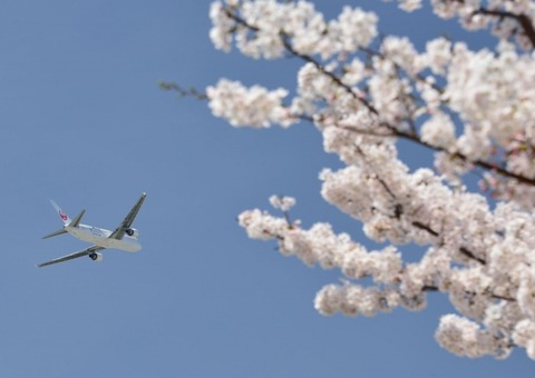 JALと桜