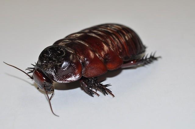 s-ヨロイモグラゴキブリ