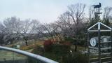 東山動植物園桜の回廊