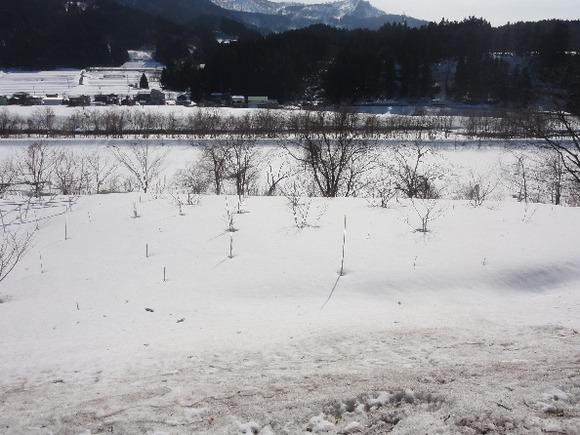 00816雪中の木594