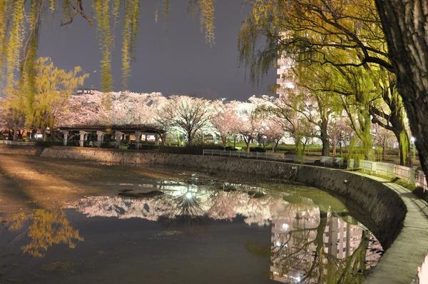 開成山公園の夜桜 (2)