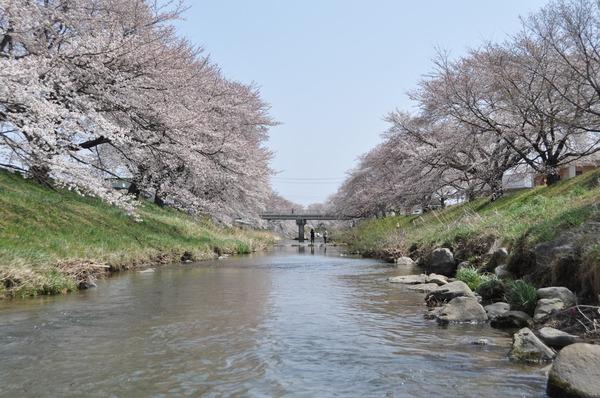 藤田川の桜 (22)