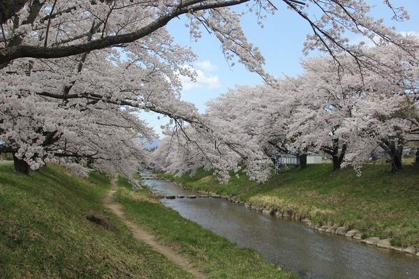 藤田川の桜 (14)